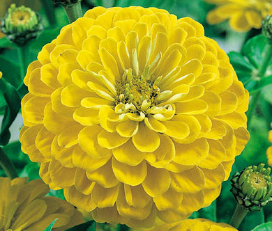 Zinnia Yellow Canary Bird Seeds - Zinnia Elegans