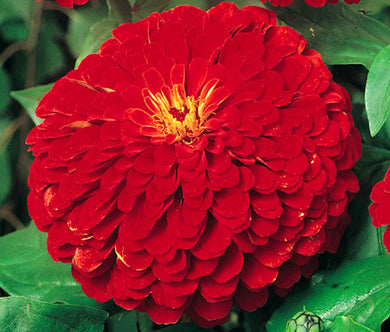 Zinnia Cherry Queen Seeds - Zinnia Elegans