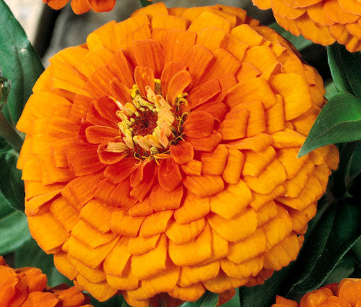 Zinnia Orange King Seeds - Zinnia Elegans