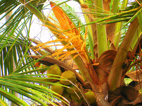 coconut sugar palm flower. from the coconut palm tree.
