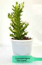 Load image into Gallery viewer, Euphorbia Trigona Mint Creme