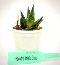 Load image into Gallery viewer, Haworthia Limifolia Shine