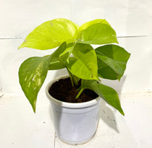 Load image into Gallery viewer, Golden Money Plant (Single Plant)