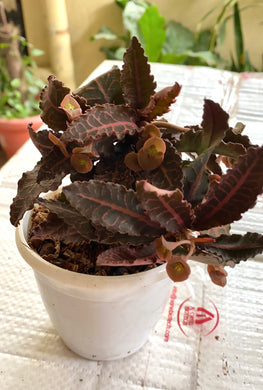Euphorbia Fracoisii Brown Knight