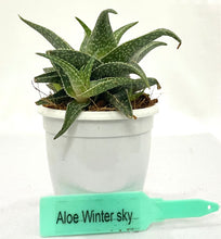 Load image into Gallery viewer, Aloe Wintersky