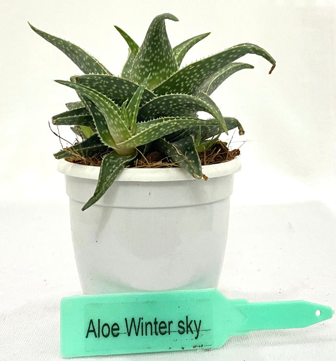 Aloe Wintersky