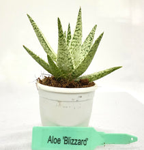 Load image into Gallery viewer, Aloe Blizzard