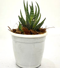 Load image into Gallery viewer, Haworthia Attenuata Zebra