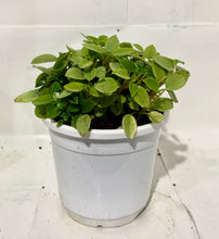 Load image into Gallery viewer, Peperomia Silver Mini