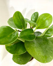 Load image into Gallery viewer, Peperomia Green