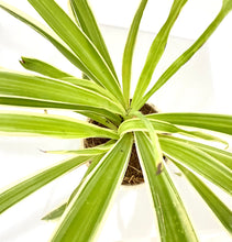 Load image into Gallery viewer, Spider Plant - Chlorphytum