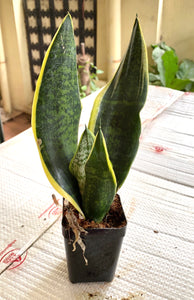 Sanseveria Superba Futura Single shoot