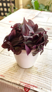 Wandering Jew - Zebrina Red