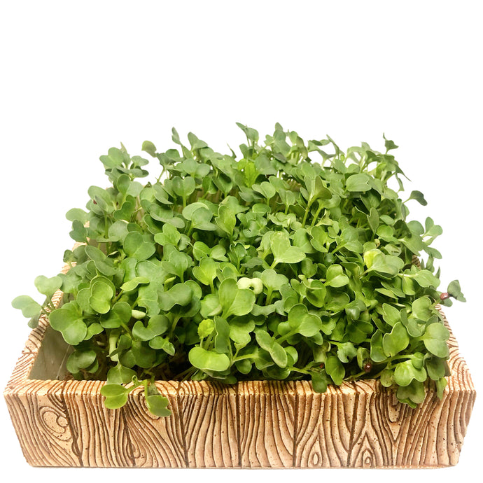 PREMIER Microgreens Starter Kit (Oak Design)