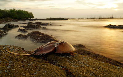 Horseshoe Crabs: Over the Moon