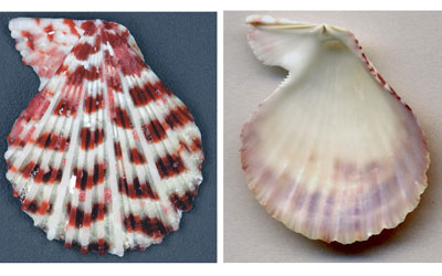 Is that scallop shell broken?