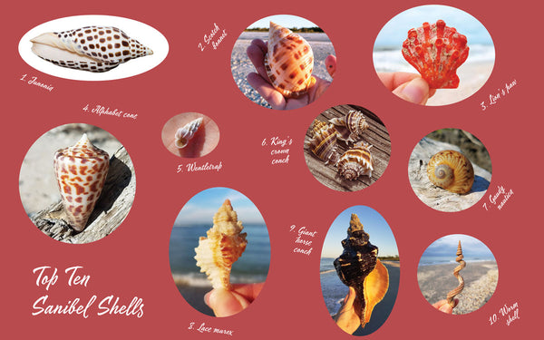 Top 10 Sanibel Sea Shells