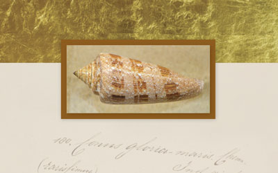 The world's most expensive seashell
