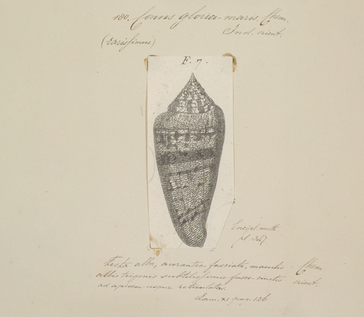 glory of the sea cone shell