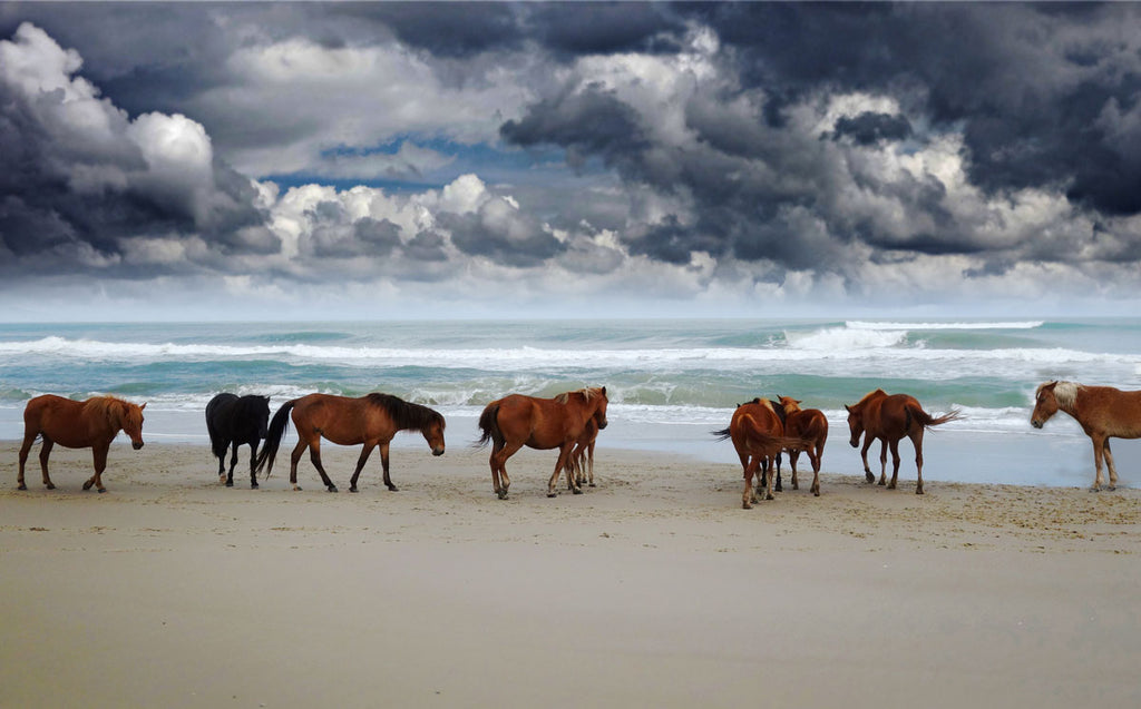 chincoteague assateague horses