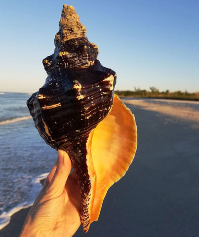 giant horse conch seashell