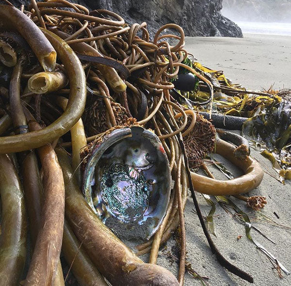 abalone in kelp on mendocino beach by ann jamgochian