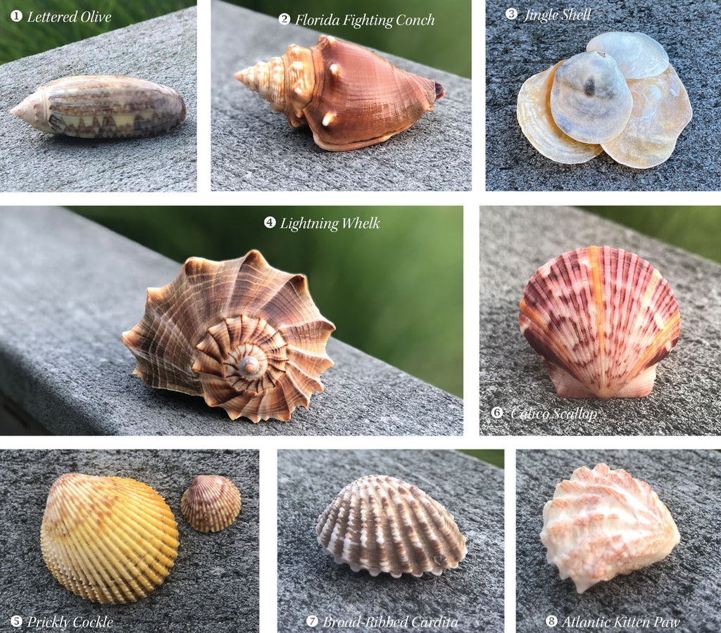 frequently found common florida shells