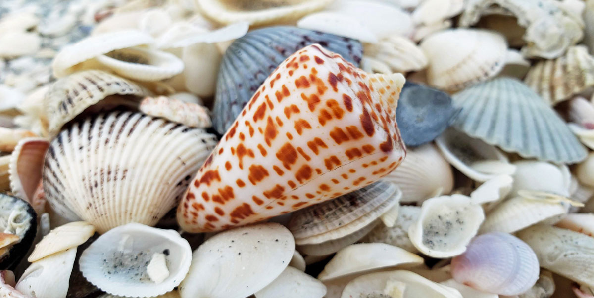 cone shell from sanibel florida