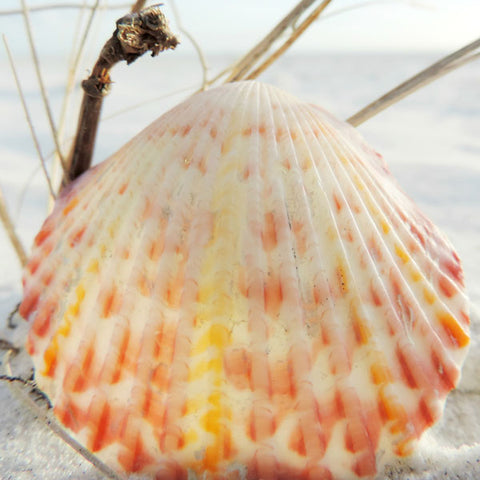 calico scallop shell