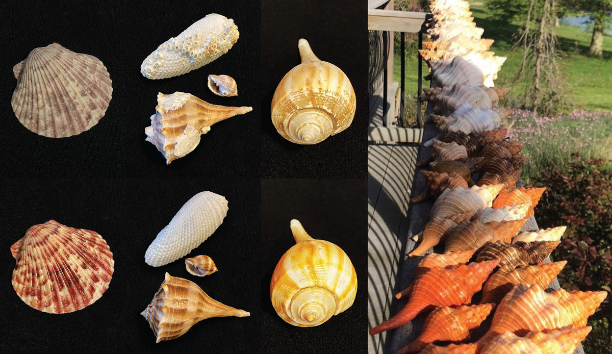 cleaning seashells before and after