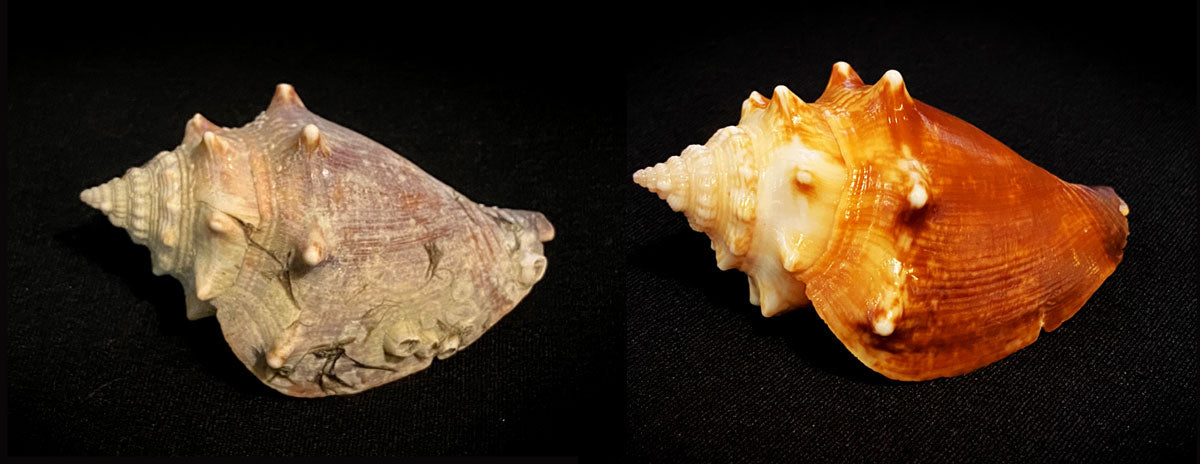 before and after cleaning and shining seashell