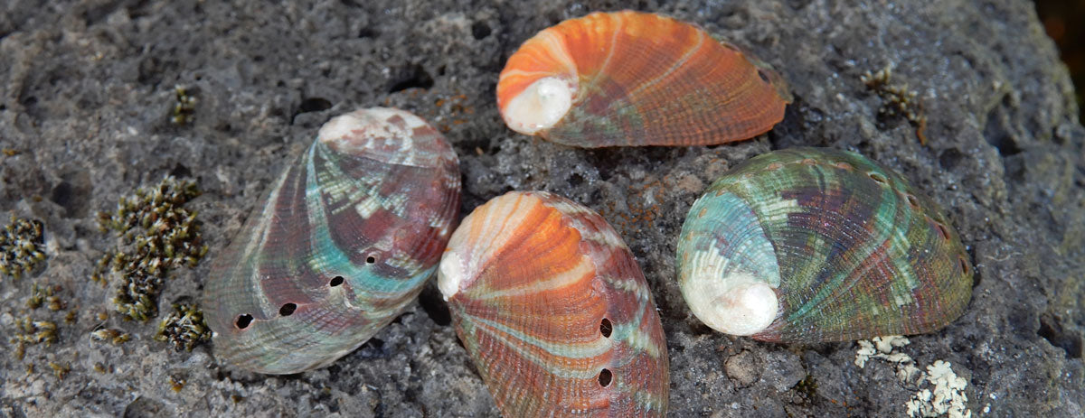 colorful baby abalone shells