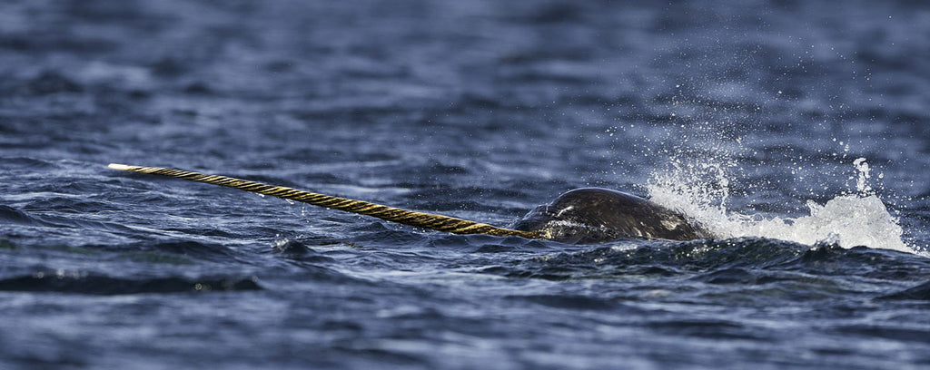 narwhal in water