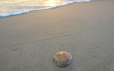 quahog shell on the beach
