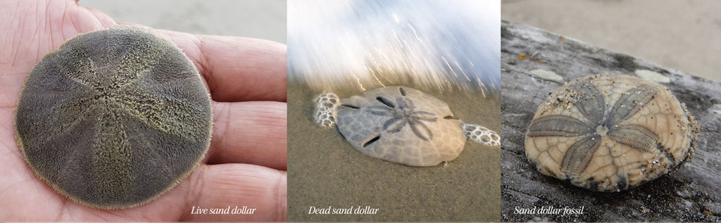 live dead and fossil sand dollars