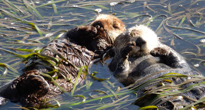 sea otters in kelp