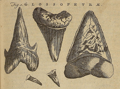 historical shark tooth illustration