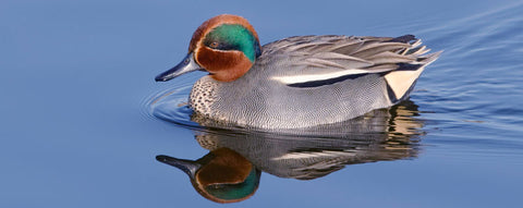 common teal duck