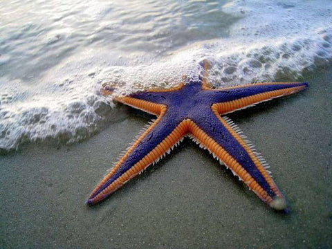 star fish in the water
