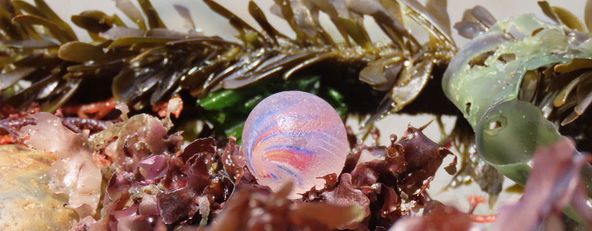 marble hiding on beach in rocks and sea weed