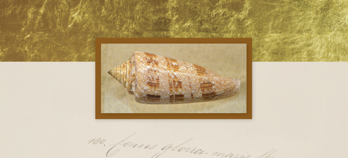 glory of the sea cone seashell most valuable