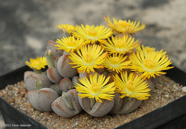 Dinteranthus microspermus ssp. puberulus - Packet of 100 seeds
