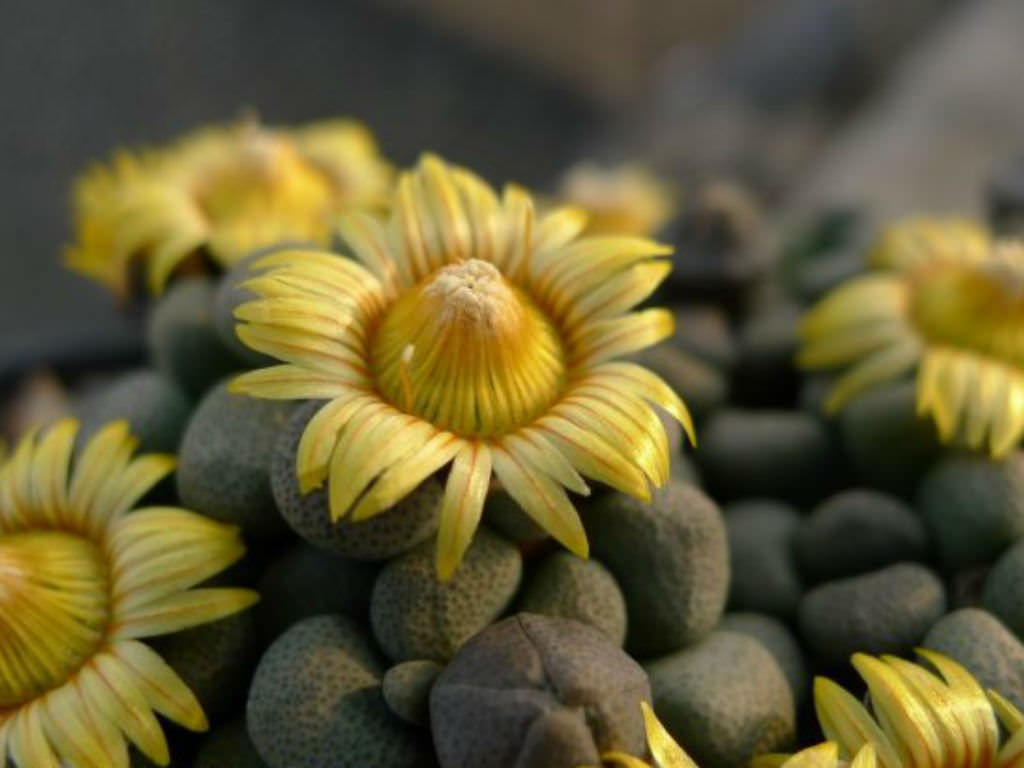 Aloinopsis schoonesii - Packet of 100 seeds