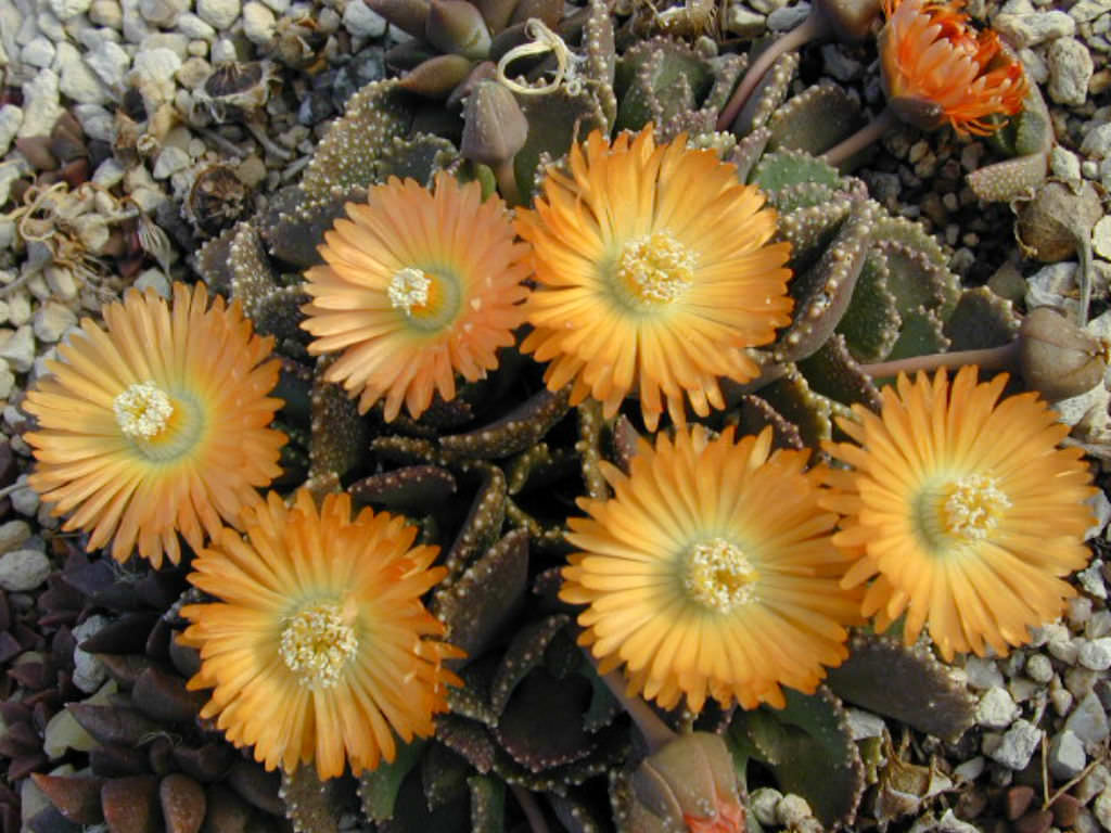 Aloinopsis malherbei (Loeriesfontein) - Packet of 100 seeds