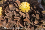 Aloinopsis setifera (Kliprand) - Packet of 100 seeds