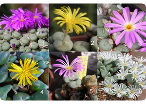 Conophytum Mixed Species - Packet of 100 Seeds