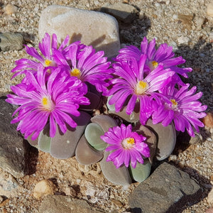 Gibbaeum dispar EA307 (Vanwyksdorp) - Packet of 100 Seeds