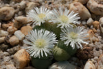 Gibbaeum heathii (Buffelspoort) - Packet of 100 Seeds
