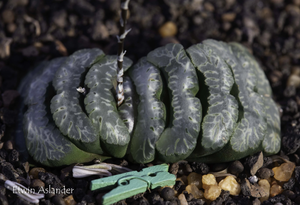 Haworthia truncata - Selected Forms