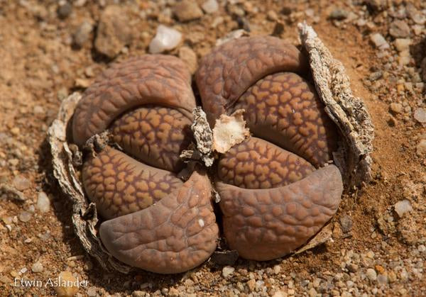 Lithops villetii ssp. deboeri C.231 - Packet of 100 Seeds
